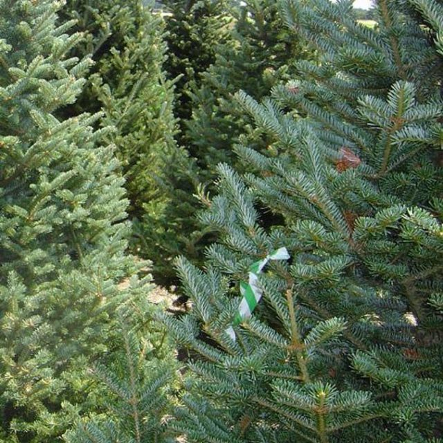 fraser_fir_christmas_tree
