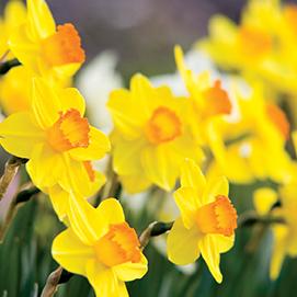 4-Daffodils-2282310